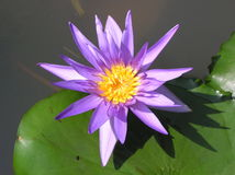Nymphaea. Flower against the background of water royalty free stock images