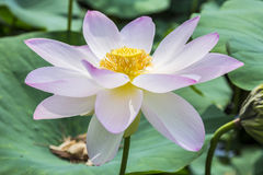 Nymphaea Flower. Lilac nymphaea flower with leaves background stock photo