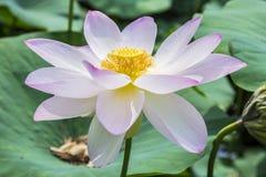 Nymphaea Flower Stock Photo