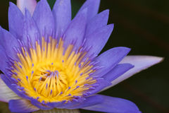 Nymphaea flower Stock Photography