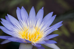 Nymphaea flower Royalty Free Stock Photo