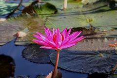 Nymphaea. Is a genus of hardy and tender aquatic plants in the family ceae stock photography