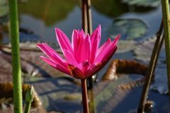 Nymphaea. Is a genus of hardy and tender aquatic plants in the family ceae stock image