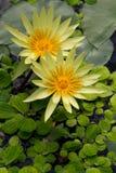 Nymphaea gialla I Fotografia Stock Libera da Diritti