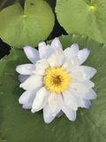 Nymphaea gigantea lotus. Royalty Free Stock Photo