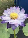 Nymphaea gigantea lotus. Royalty Free Stock Images