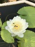 Nymphaea gigantea lotus. Royalty Free Stock Photos