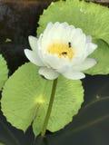 Nymphaea gigantea lotus. Stock Image