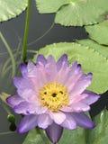 Nymphaea gigantea lotus. Royalty Free Stock Photography