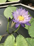 Nymphaea gigantea lotus. Stock Images