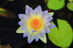 Nymphaea Gigantea Royalty Free Stock Photo