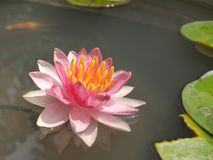 Nymphaea Gypsy Stock Images