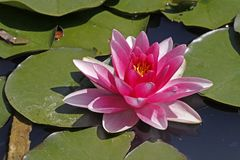 Nymphaea-Hybrid, Water-Lily Royalty Free Stock Photos