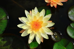 Nymphaea Joey Tomocik Royalty Free Stock Image