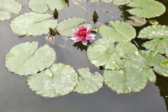 Nymphaea, l'eau Lilly Photographie stock libre de droits