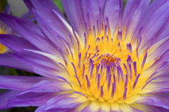 Nymphaea Lily Purple Stock Image