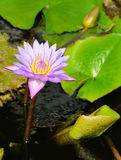 Nymphaea lotus. The Tiger Lotus, White lotus or Egyptian White Water-lily, is a flowering plant of the family Nymphaeaceae stock photography