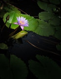 Nymphaea lotus Stock Photo