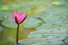 Nymphaea lotus Stock Image