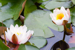 Nymphaea lotus f. thermalis Royalty Free Stock Photos