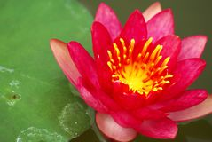 Nymphaea lotus Linn Royalty Free Stock Image