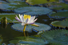 Nymphaea lotus var. thermalis Royalty Free Stock Photos