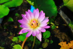 Nymphaea Marliacea Rosea Royalty Free Stock Image