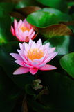 Nymphaea Masaniello Stock Images
