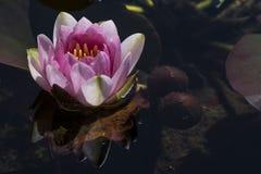 Nymphaea 'Mevr. Richmond' Waterlily Stock Foto's