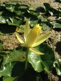 Nymphaea Mexicana - Yellow Nymphaeaceae (Water Lily) Blossoming in Bright Sunlight in Pond. Royalty Free Stock Photo