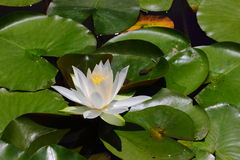 Nymphaea nouchali Royalty Free Stock Images