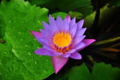 Nymphaea nouchali. Often known by its synonym Nymphaea stellata, or by common names blue lotus, star lotus, red and blue water lily, blue star water lily or royalty free stock images