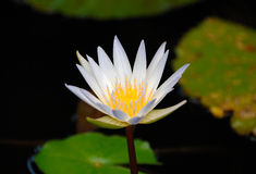 Nymphaea nouchali. Often known by its synonym Nymphaea stellata, or by common names blue lotus, star lotus, red and blue water lily, blue star water lily is a Stock Images
