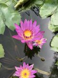 Nymphaea nouchali or Star Water lily. Royalty Free Stock Images