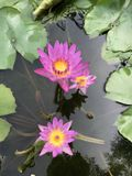 Nymphaea nouchali or Star Water lily. Stock Images