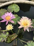 Nymphaea nouchali or Star Water lily. Stock Image