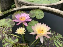 Nymphaea nouchali or Star Water lily. Royalty Free Stock Photography