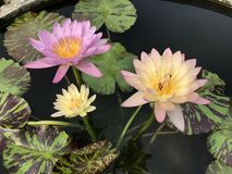 Nymphaea nouchali or Star Water lily. Stock Photography
