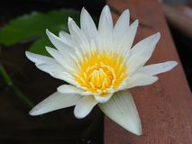 Nymphaea Odorata White royalty free stock photography