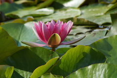 Nymphaea - Pink waterlily - Aquatic vegetation, water plants Royalty Free Stock Photography