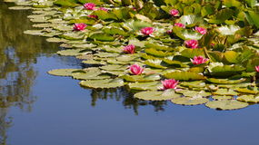 Nymphaea - Pink waterlily - Aquatic vegetation, water plants Stock Photo