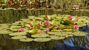 Nymphaea - Pink waterlily - Aquatic vegetation, water plants Royalty Free Stock Image