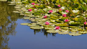 Nymphaea - Pink waterlily - Aquatic vegetation, water plants Stock Images
