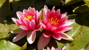 Nymphaea - Pink waterlily - Aquatic vegetation, water plants Stock Photos