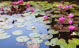 Nymphaea in a pond Sri Lanka.  stock photos