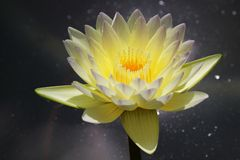 Nymphaea Poon Sub. Blooming nymphaea Poon Sub royalty free stock photos