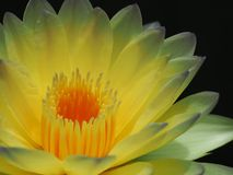 Nymphaea Poon Sub. Day blooming tropical waterlily Poon Sub Royalty Free Stock Image