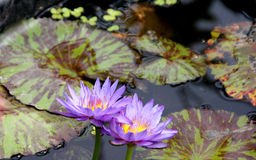 Nymphaea 'Queen of Siam' Stock Photography