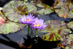 Nymphaea 'Queen of Siam' Royalty Free Stock Photos