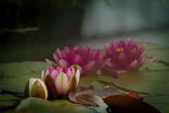 Nymphaea rouge, Hardy Waterlily Image stock